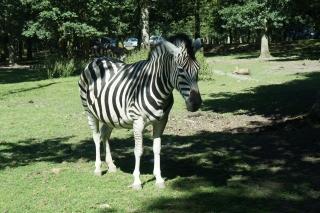 Zebra w Parc de Thoiry