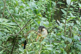 Małpki w Apenheul