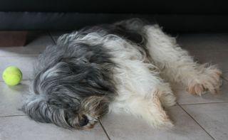 Pies który zwie się Bo