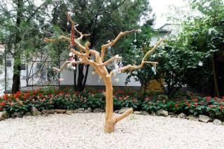 Drzewo smoczkowe w zoo w Nyiregyhaza