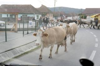 Krowy w Carta
