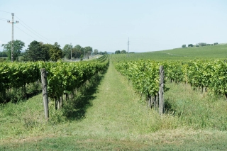 Tokajskie winnice z bliska